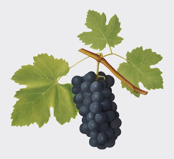 La zorra y los racimos de uvas
